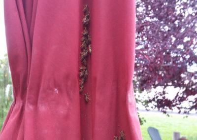 Wasps on curtain