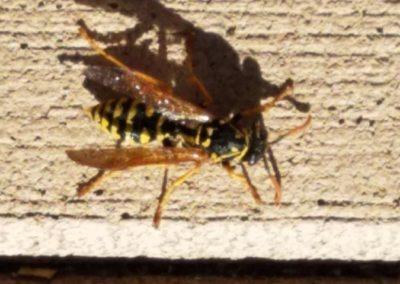 A Big Wasp