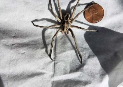 Big Spider Penny for size