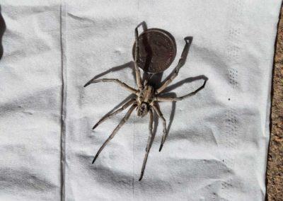 Big Spider Quarter for size