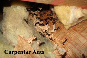 carpentar ants
