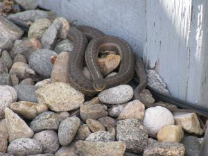 Snake on the backyard