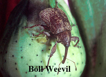 cotton_boll_weevil-min