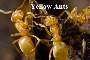 yellow-ant-min